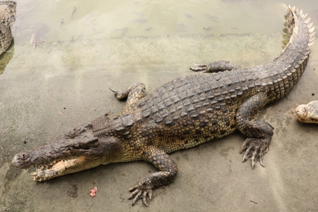 Crocodile in farms, Things to Do in Thailand