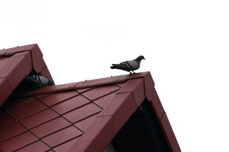 Pigeons on the red roof