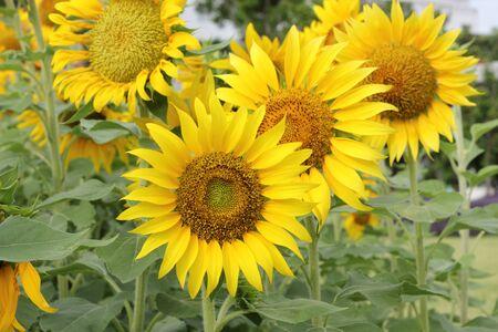 Beautiful sun-flower plants