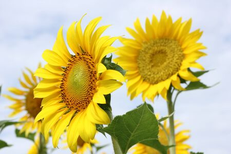 Beautiful sun-flower plants  Stock Photo - 15309722