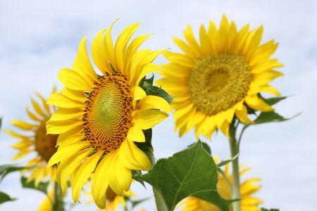Beautiful sun-flower plants Stock Photo - 15309722