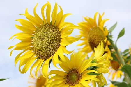 Beautiful sun-flower plants  Stock Photo - 15309718