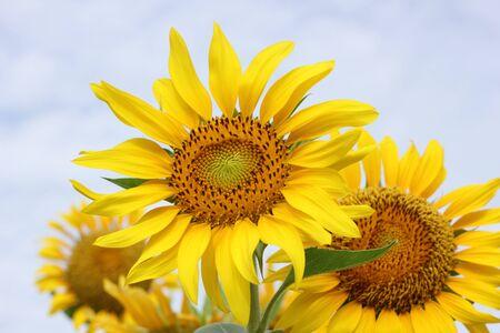 Beautiful sun-flower plants Stock Photo - 15309713