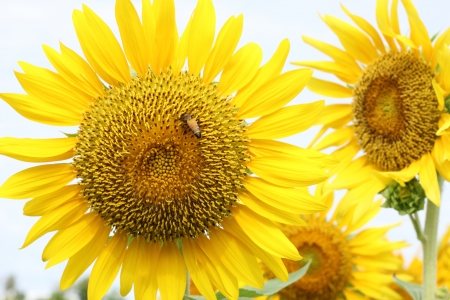 Beautiful sun-flower plants Stock Photo - 15309720