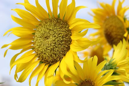 Beautiful sun-flower plants  Stock Photo - 15309719