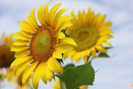 Beautiful sun-flower plants Stock Photo - 15309712