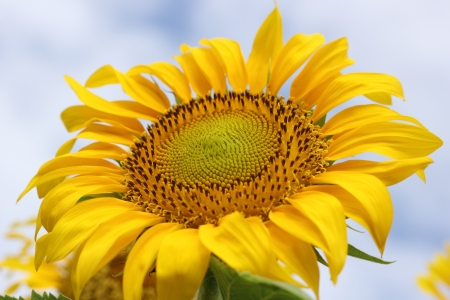 Beautiful sun-flower plants Stock Photo - 15309714