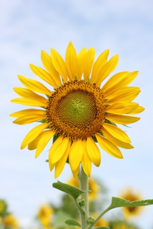 Beautiful sun-flower plants Stock Photo - 15309711