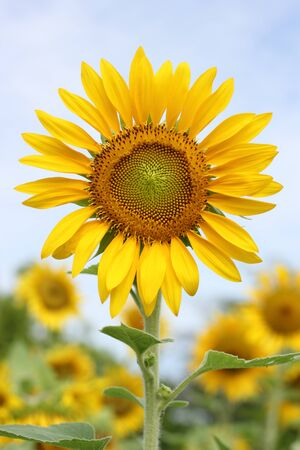 Beautiful sun-flower plants  Stock Photo - 15309716