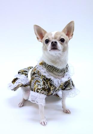 bitch: Chihuahua puppy dressed luxury