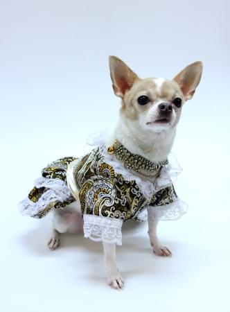 Chihuahua Welpen gekleidet Luxus Lizenzfreie Bilder