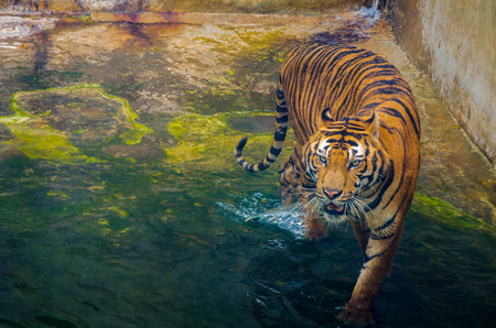 Tiger in Zoo Walking on Water, Business Tourism on Wildlife Conservation Thailand.