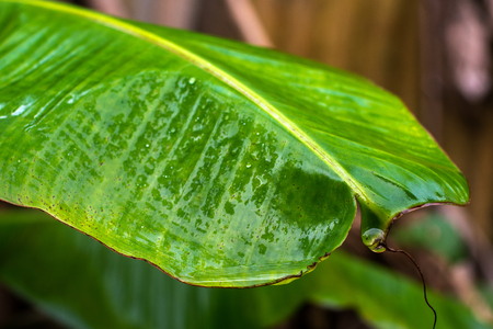 Banana leaves, texture and background.