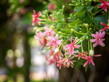 Flowers background, Quisqualis indica flower, pink flowers blossom.