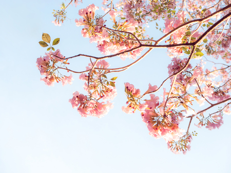 Pink trumpet tree and Tabebuia rosea, Originated in Central and South America, El Salvador national tree.
