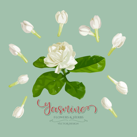 Beautiful Jasmine and soft flowers used for making garlands of traditional Thai, collection, Vector illustration design.