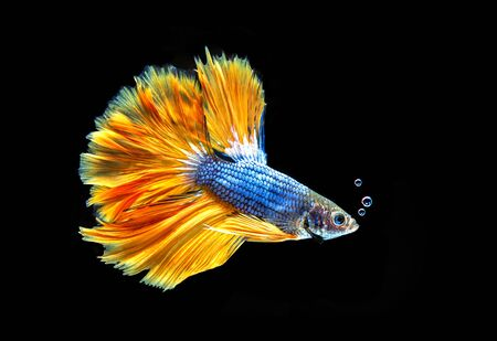 Betta siamese fighting fish, Thai and tropical aquatic animals. Foto de archivo - 127840096