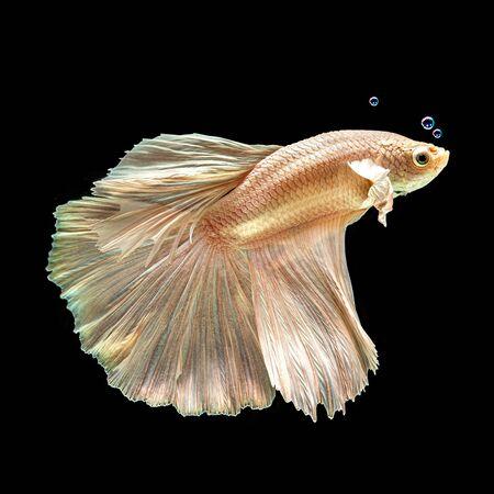 Betta siamese fighting fish, Thai and tropical aquatic animals.