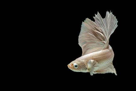 Betta siamese fighting fish, Thai and tropical aquatic animals. Foto de archivo - 127840103