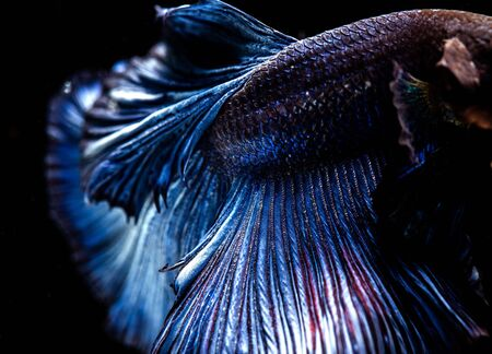 Betta siamese fighting fish, Thai and tropical aquatic animals. Foto de archivo - 127839931
