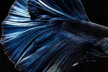 Betta siamese fighting fish, Thai and tropical aquatic animals. Foto de archivo - 127839928