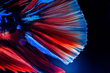 Betta siamese fighting fish, Thai and tropical aquatic animals.