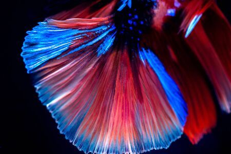 Betta siamese fighting fish, Thai and tropical aquatic animals. Foto de archivo - 127839957