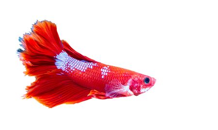 Betta siamese fighting fish on white background, Thai and tropical aquatic animals.