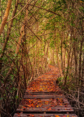 Fallen leaves on weathered wooden bridges Walkways waiting to be maintained in mangrove forests in autumn.