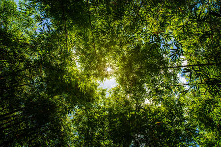 Bamboo forest and the morning sunlight,  Bamboo trees that are abundant during the rainy season