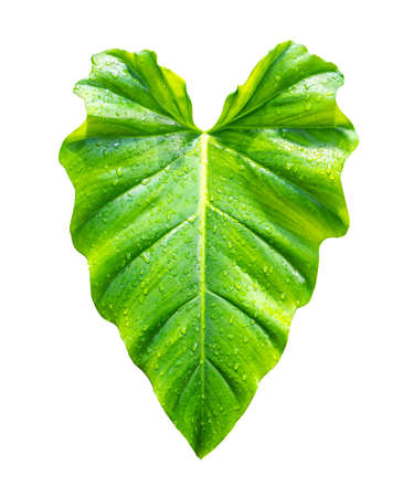 Philodendron leaf species