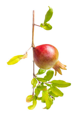 Pomegranate young fruit on branch, clipping path included.