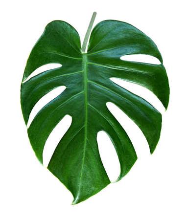 Dark green monstera tropical leaf on white background Standard-Bild