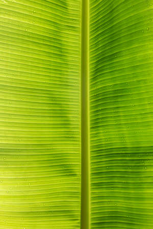 Water droplets on green banana leaves Background and textures for advertising and design.