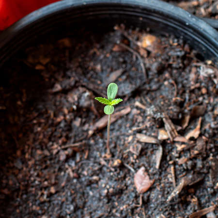 Close-up photo of Marijuana seedlings in pot for planting, 1 week seedling age,