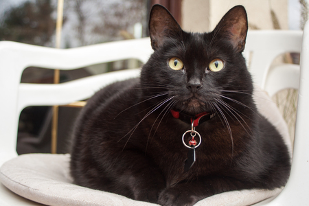 Black cat with red collar sitting on a white chair Stock Photo