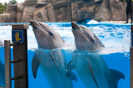 Happy dancing dolphins in dolphinarium together under the blue water Stock Photo