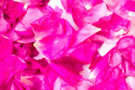 Drying petals of dog-rose (Rosa Canina) or wild briar to drink tea