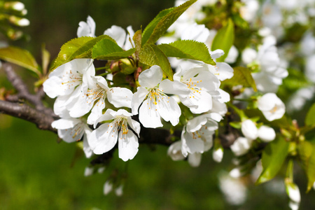 gean: Beautiful white cherry flowers on the branch, the blue sky in the background