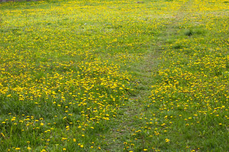 Green meadow of sonchus flowers. Path road Stock Photo