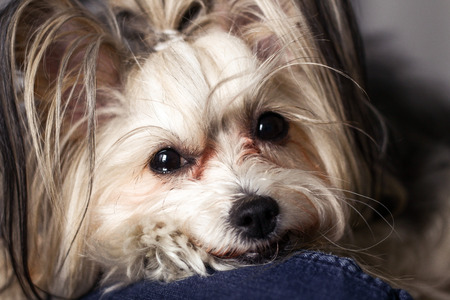 dog grooming: Chinese crested dog portrait. Small cute dog in a room Stock Photo
