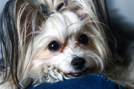 Chinese crested dog portrait. Small cute dog in a room Stock Photo