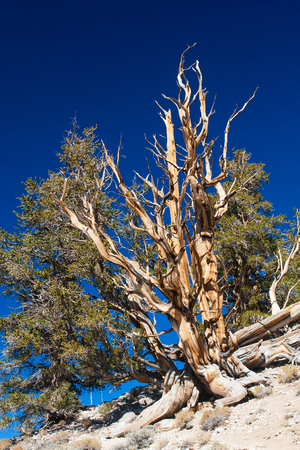 Bristle-cone Pine tree at the same named National Park