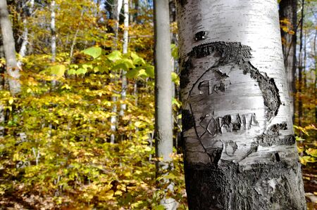 carving in a birch tree