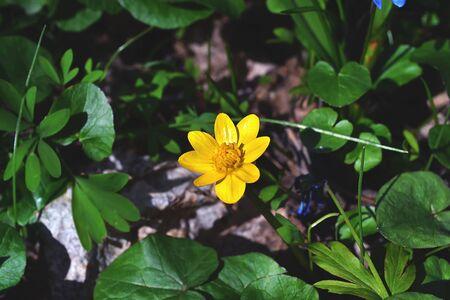 lesser: Lesser celandine in the forest