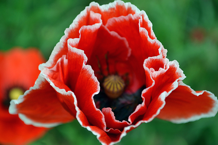 Poppies on the grass background in the day Stock Photo