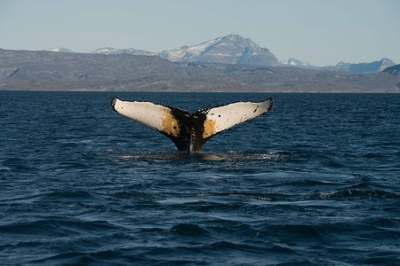 greenland: Greenland whale Stock Photo