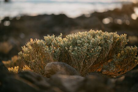 Green plants on the rocky shore near the ocean on the sunset with orange sunlights. Tenerife