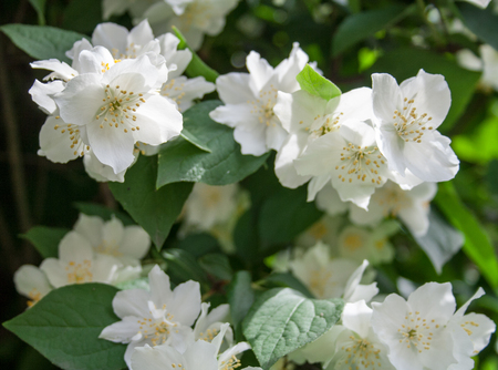 White flowers with green leaves background Stock Photo