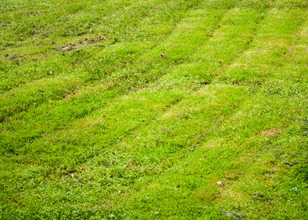 Lawn with mowed green grass at summer. background, texture, nature.